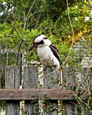 Kookaburra on fence