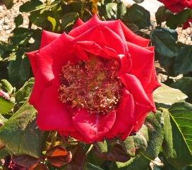 Apothecary's Rose - centre - Copy