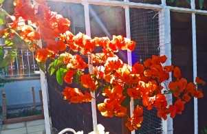 Orange Bougainvillea 1