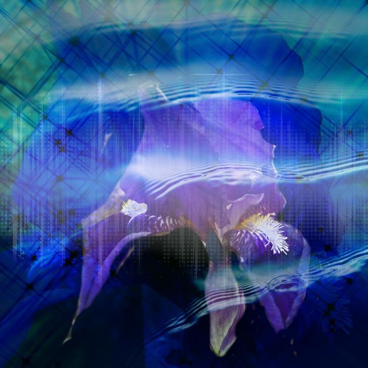 Purple Iris Dreaming