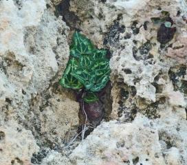 Lambousa - Wild cyclamen 1