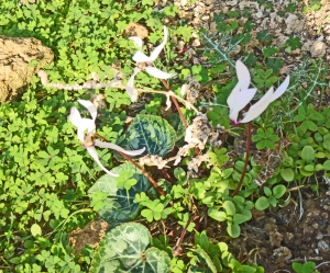 Wild cyclamen at Lambousa rock tombs & Roman fish ponds