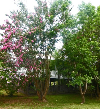 Front of house with Crepe Myrtle tree