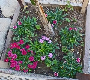 Garden, spring 2014 - dianthus