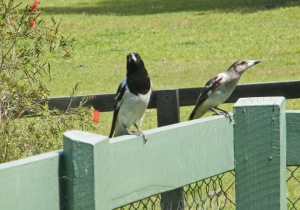 Butcher Bird & Baby at Ned's Bed