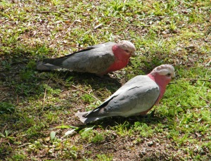 Galahs on front verge