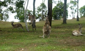 Kangaroos at Boonah