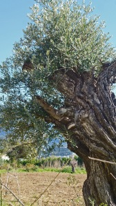 Old olive tree regenerating