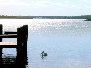 Pelican at Port Maquarie