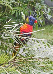 Rainbow Lorikeet on grevillea 1