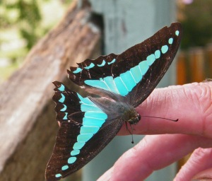 Turquoise-black butterfly on Bryan's hand