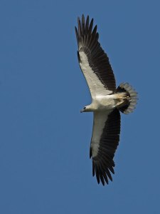 White-bellied Sea-Eagle. you'd see quite a few of these over the Nambucca River close to the Indian Ocean. Huge, magnificent bird