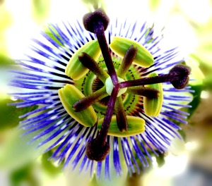 Passion Flower Blurred