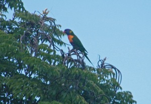 Rainbow Lorikeet in Trumpet Tree