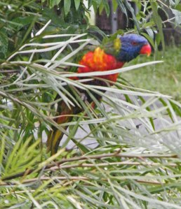 Rainbow lorikeet on grevillea