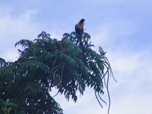 Rainbow Lorikeet on Trumpet Tree