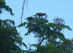 Rainbow Lorikeet top of Trumpet Tree
