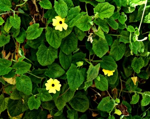 Black-Eyed Susan Creeper
