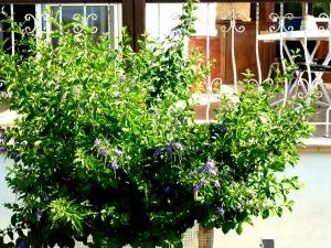 Blue bush, front garden, July 2014