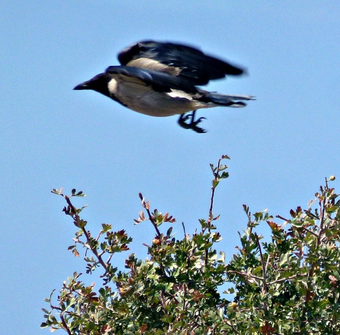 Hooded Crow in flight