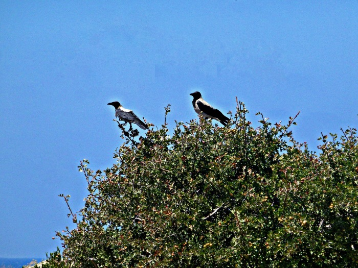 Hooded Crow x 2
