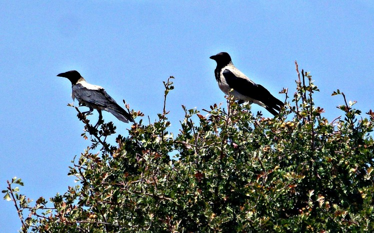 Hooded Crows - Close-up