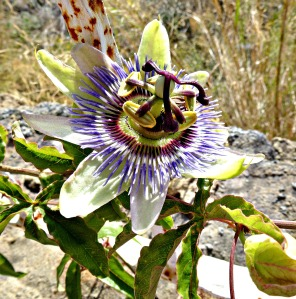 Passion Flower, July 2014