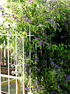 Solanum, corner garden, July 2014