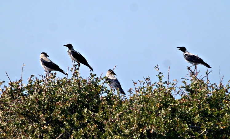 Hooded Crows x 4