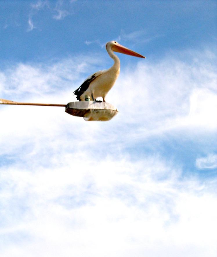 Pelican at Port Mcquarie, mid-NSW coast