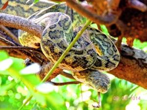 Carpet Python - Rex & Denise's backyard