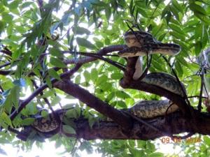 Carpet Python - Rex & Denise's backyard1