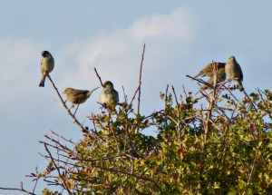 Finches1