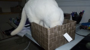Sweetie - what is it with cats & boxes