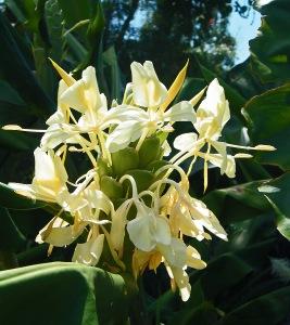 Ginger flower 2
