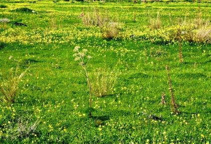 Oxalis in neighbouring paddock