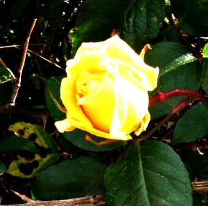 Yellow rose in communal garden