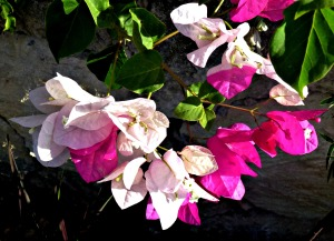 Bougainvillea - bi-colour - Copy