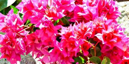 Bougainvillea - deep pink