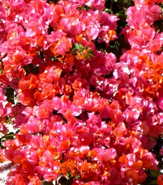 Bougainvillea, front fence
