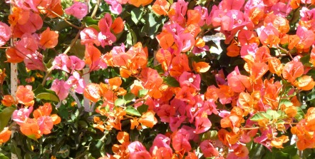 Bougainvillea - orange & pink