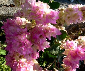 Bougainvillea, pink 1