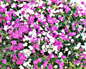 Bougainvillea - pink & white