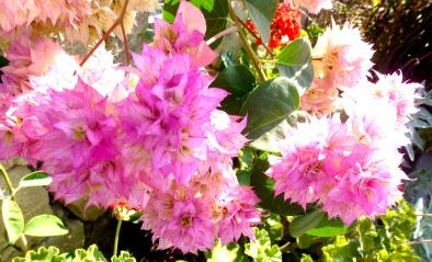 Bougainvillea, pink