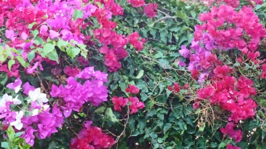 Bougainvilleas, Marilyn's house