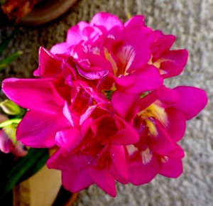 Freesia, pink 4