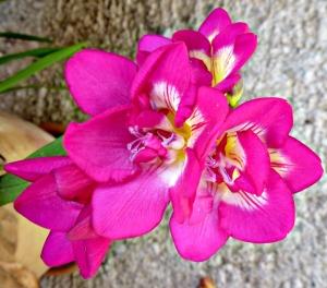 Freesia, pink 5