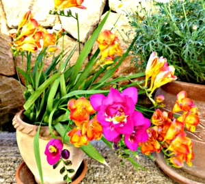 Freesias, mixed