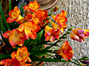 Freesias, orange 1