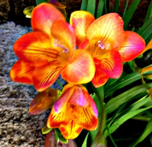 Freesias, orange